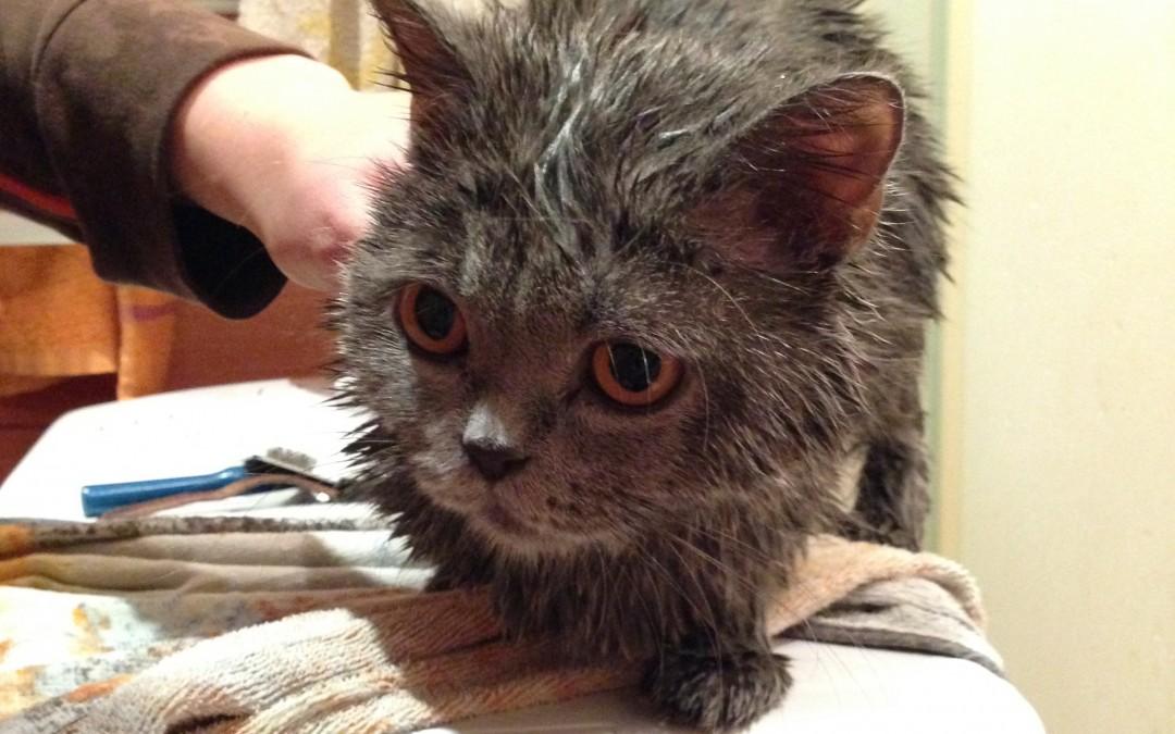 Jak spokojnie wykąpać kota?