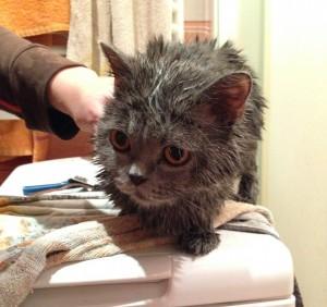 Mokry kot brytyjski po kąpieli w prysznicu