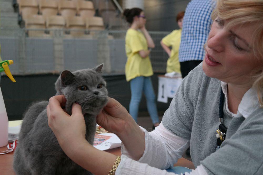 Betty na Międzynarodowej Wystawie Kotów Rasowych – Bydgoszcz